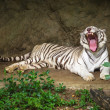 Stock Photo: White Tiger.