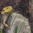 Pogona lizards — Stock Photo