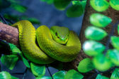 Green viper — Stock Photo