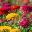 Colorful chrysanthemums — Stock Photo