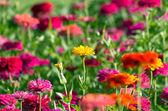 Colorful chrysanthemums — Stock Photo