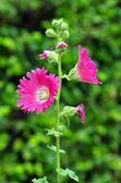Hollyhock Flower — Stock Photo