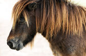 Dwarf horse — Stock Photo