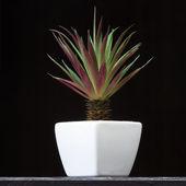 Aloe vera. — Stock Photo