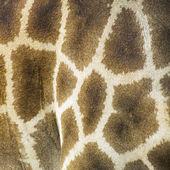 Textura de pele de girafa — Foto Stock