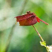 Libellule rouge — Photo