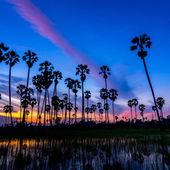 Sugar palm tree — Стоковое фото