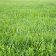 Grass — Stock Photo #34530783