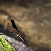 Zelený Odonata — Stock fotografie