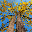 Tree with yellow leaves — Stock Photo