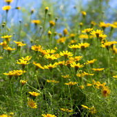 Margaridas amarelas — Foto Stock
