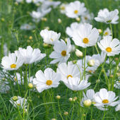 Beautiful white cosmos flower — Stock Photo