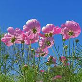 цветок космос — Стоковое фото