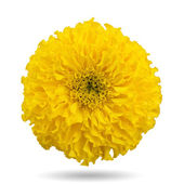 Yellow marigold — Stock Photo