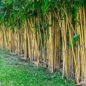 Planting bamboo wall — Stock Photo