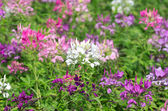 Cleome Spinosa Flowers — Stock Photo