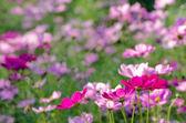 Flower cosmos — Stock Photo