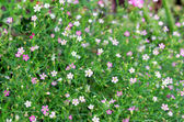 Closeup gypsophila flower.  — Stock Photo