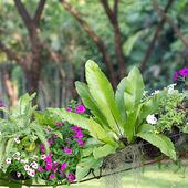 Asplenium nidus in garden  — Stock Photo