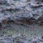 Rice seedlings — Stock Photo #44182357
