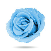 Blue rose — Stockfoto