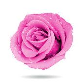 Rosa rosa — Foto Stock