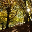 Stock Photo: Autumn beech woods with yellow trees foliage in mountain forest