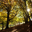 Autumn beech woods with yellow trees foliage in mountain forest — Stock Photo