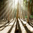 Morning pine forest, sun shining rays through the trees — Stock Photo #43833515