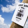 Stock Photo: Lost dog poster nailed to lightpost