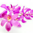 Rhynchovanda Blue Lighting Orchid — Stock Photo