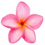 Pink Frangipani Plumeria flower isolated over white background — Stock Photo