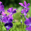 Stock Photo: Heath Violet