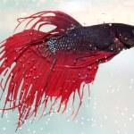 Red siamese fighting fish — Stock Photo #12538260