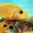 Yellow cichlid — Stock Photo