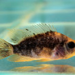 Black cichlid — Stock Photo