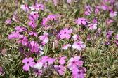 Pink mountain phlox — Stock Photo