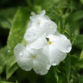White phlox after the rain — Stock Photo