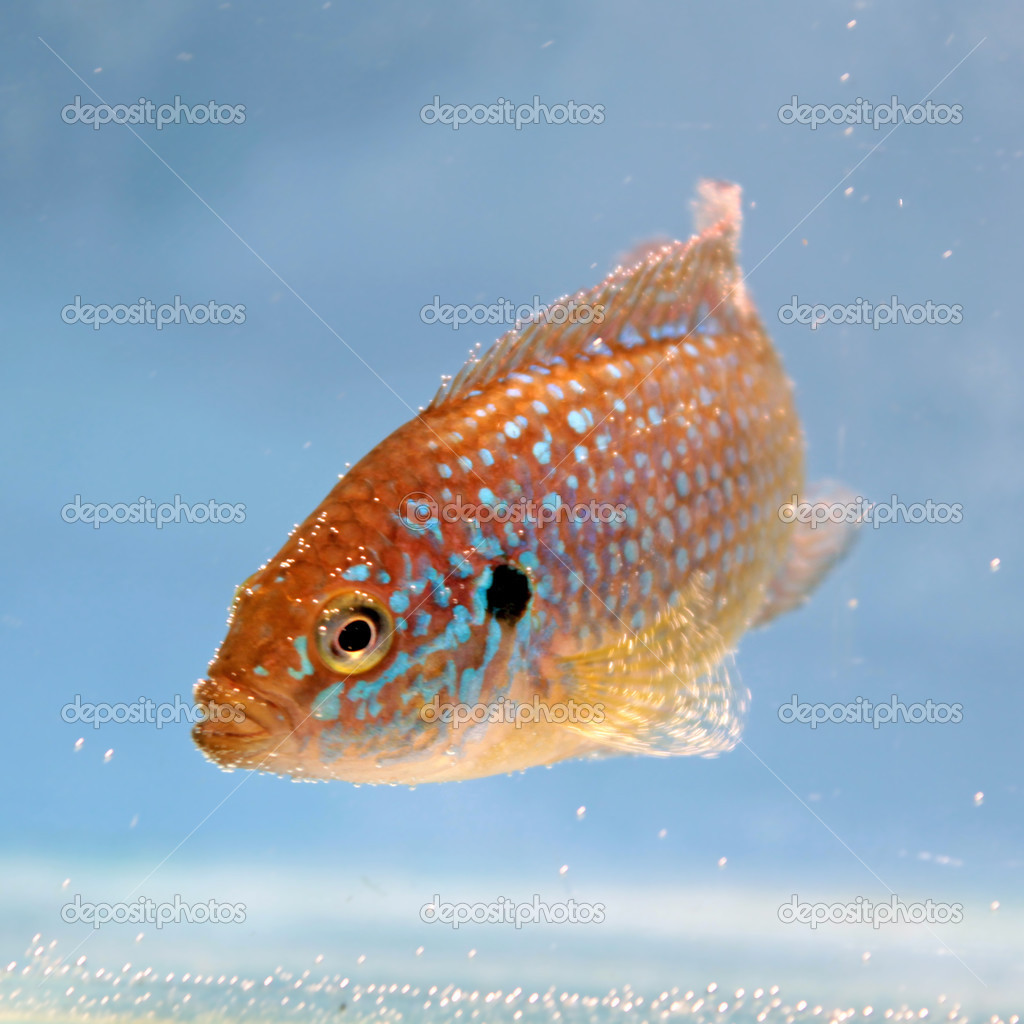 Freshwater jewel fish - African Jewelfish Hemichromis Bimaculatus Freshwater Aquarium Fish Photo By Kazakovmaksim