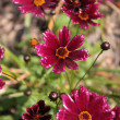 Cosmos bipinnatus (garden cosmos) — Stock Photo