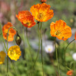 Alpine poppy (Papaver alpinum) — Stock Photo