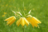 Yellow Crown imperial flower (Fritillaria imperialis) — Stock Photo