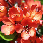 Flowers of Japanese quince — Stock Photo