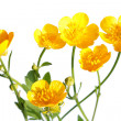 Stock Photo: Ranunculus repens (Creeping Buttercup) isolated on white