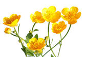 Ranunculus repens (Creeping Buttercup) isolated on white — Stock Photo