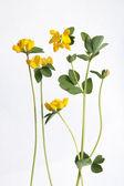 Lotus corniculatus (Birdfoot Deervetch) — Stock Photo