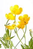 Ranunculus repens (Creeping Buttercup) — Stock Photo