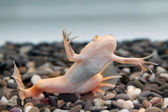 Xenopus laevis (African clawed frog) — Stock Photo