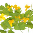 Chelidonium majus (greater celandine) — Stock Photo