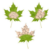 Wither maple leaves — Stock Photo